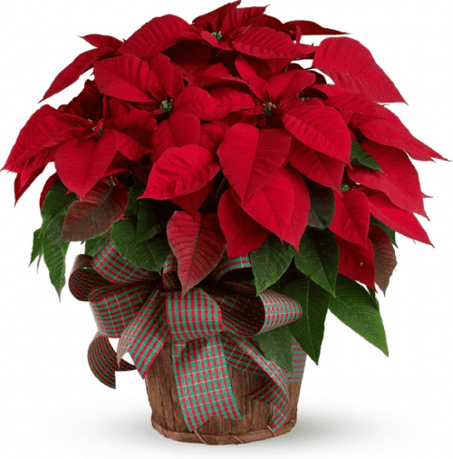 Image of the Classic Large Poinsettia plant