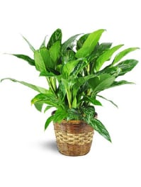 Marie Chinese Evergreen Aglaonema Commutatum