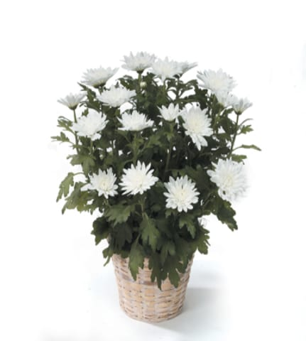 Peaceful white mum plant